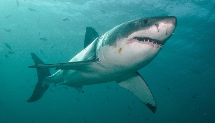 Nadar con tiburones blancos