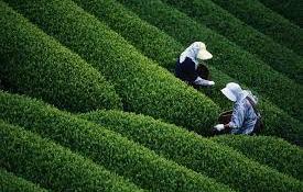Jorhat tea garden, assam