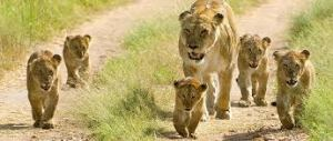tourist places to visit in Junagadh, Somnath.- Sasangir, Lion Sanctuary