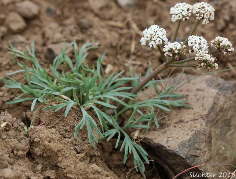 """Lomatium gormanii, known as salt and pepper, biscuitroot, """"sycan,"""" and """"chewaucan."""""""