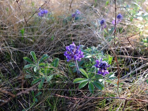 Nashville breadroot (Pediomelum subacaule) in bloom.