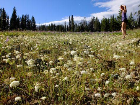 Field of yampah (Perideridia gairdneri) in Wallowa-Whitman National Forest. Photo by Kollibri Sonne-Terrablume.