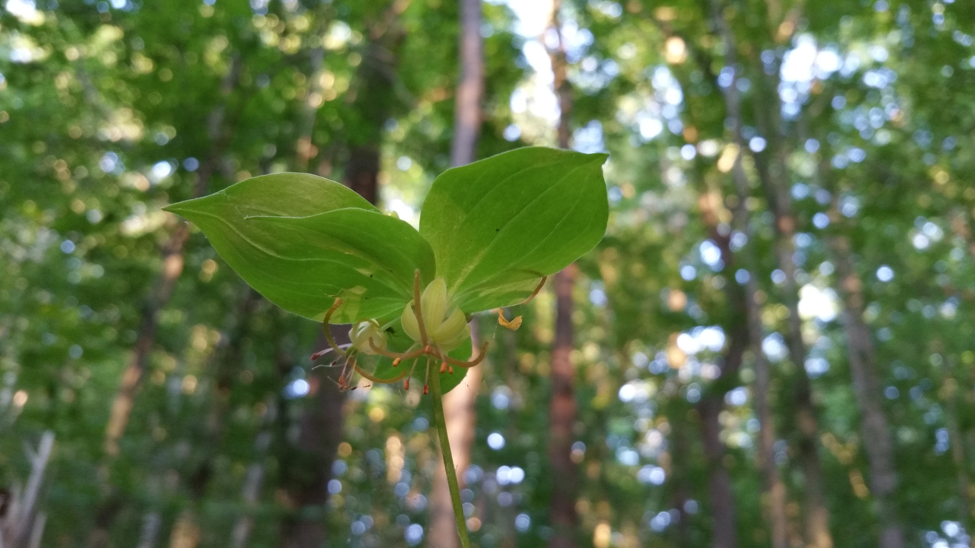 Cucumber Root Medeola Virginiana Nomad Seed Project