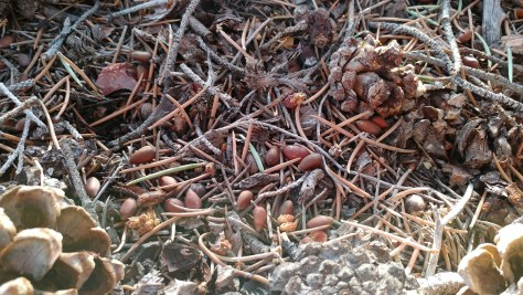 A litter of pinenuts