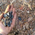 These weathered, patina'ed obsidian flakes were left behind by hundreds of generations of winter-camping Paiutes.