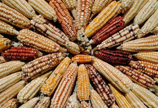 Varieties of Mexican maize. Oaxaca, Mexico
