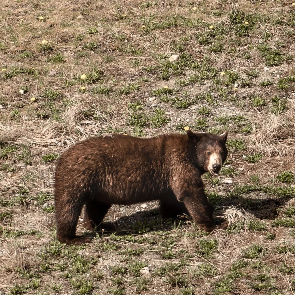 Bears Along the Alaska Highway