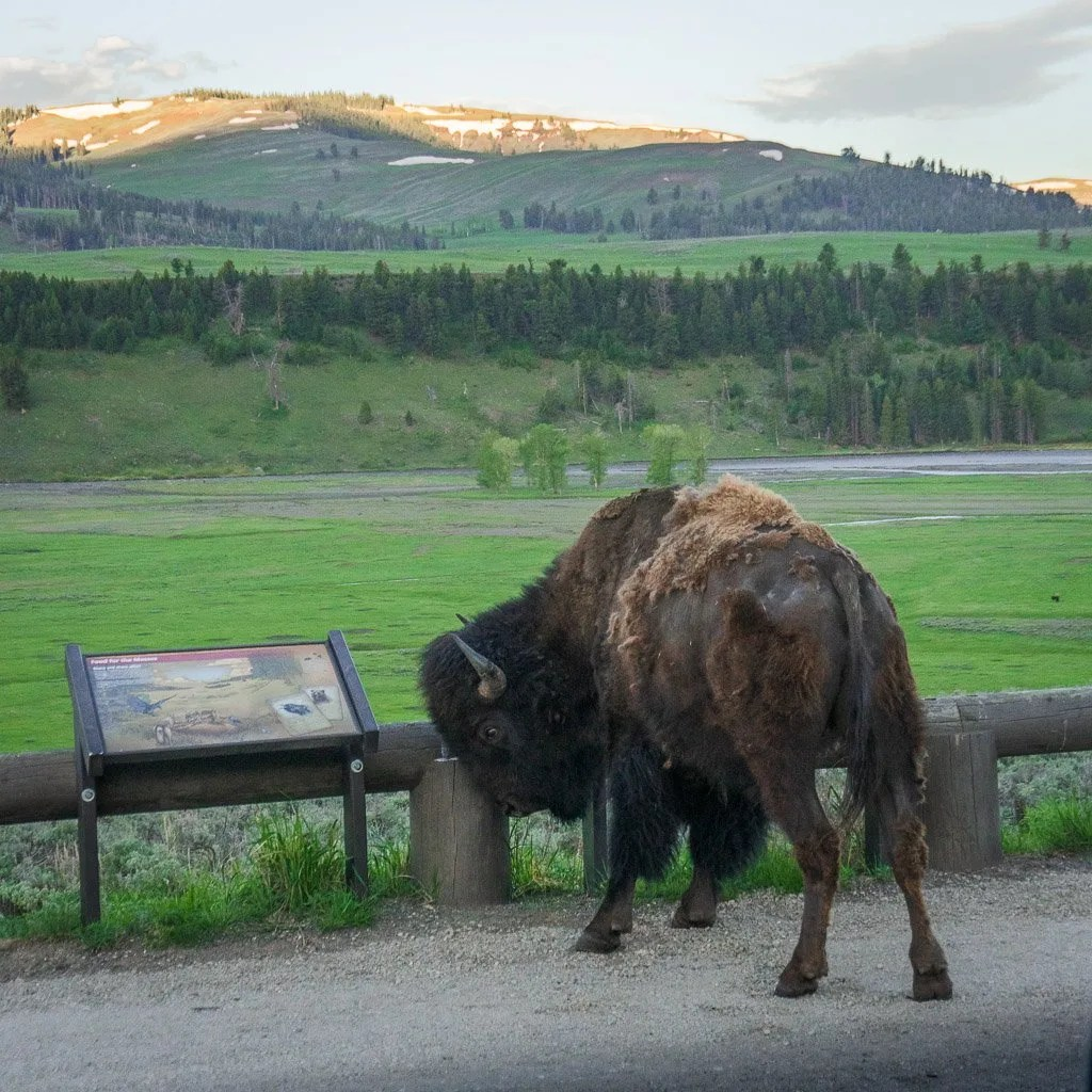 Grand Teton to Yellowstone to Glacier National Parks Road Trip Bison