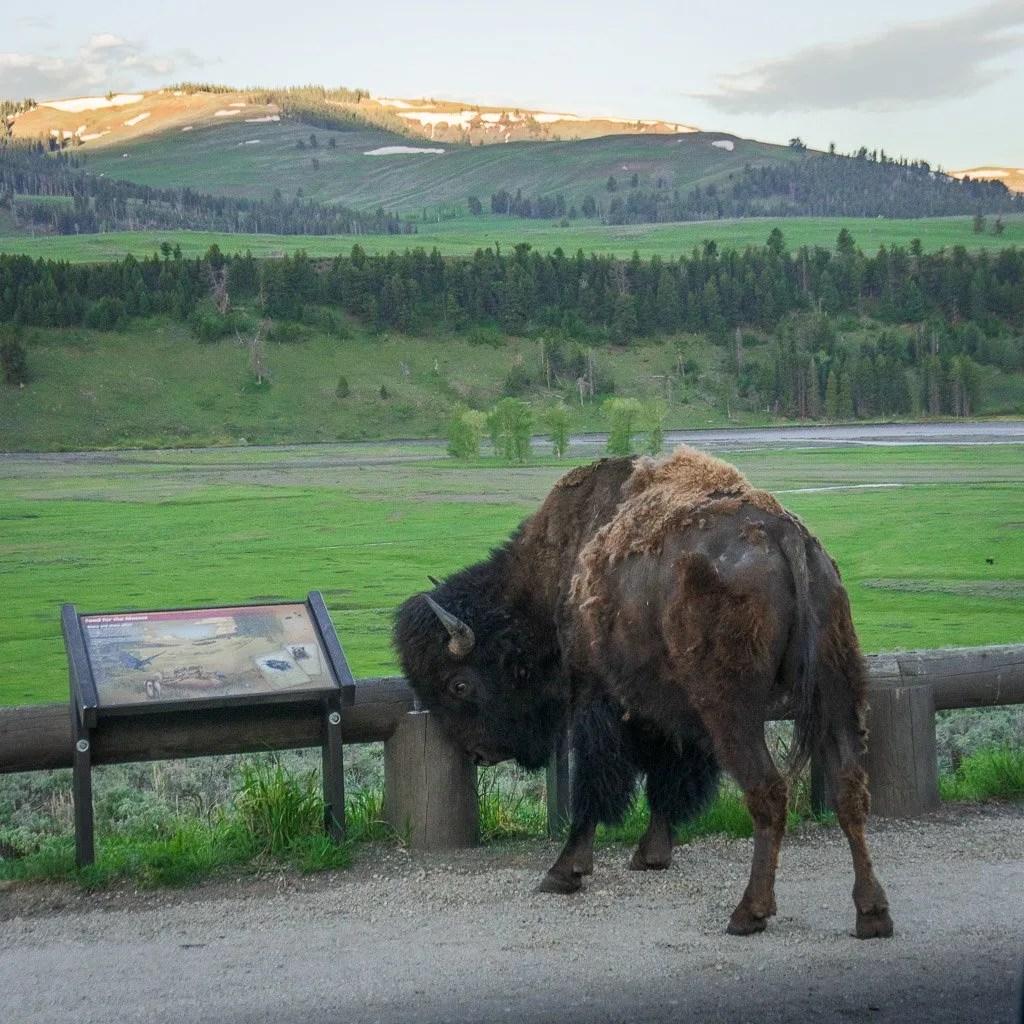 Grand Teton to Yellowstone to Glacier National Parks Road Trip Bison