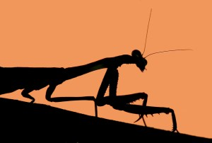 Praying mantis in silhouette