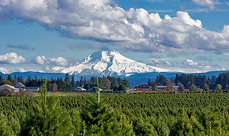 Christmas traditions mean Christmas trees. Here is an Oregon Christmas tree farm in front of a snow-covered Mt. Hood