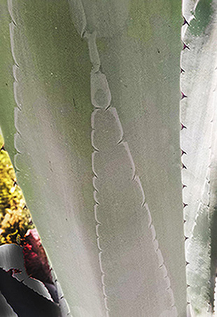 It's easy to see the impression left by one agave leaf on the one below it, where it was tightly furled before opening.