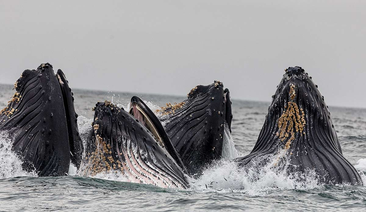 Whales feeding in a circle, coming straight up out of the water, mouths open wide.  Definitely on my travel wish list!