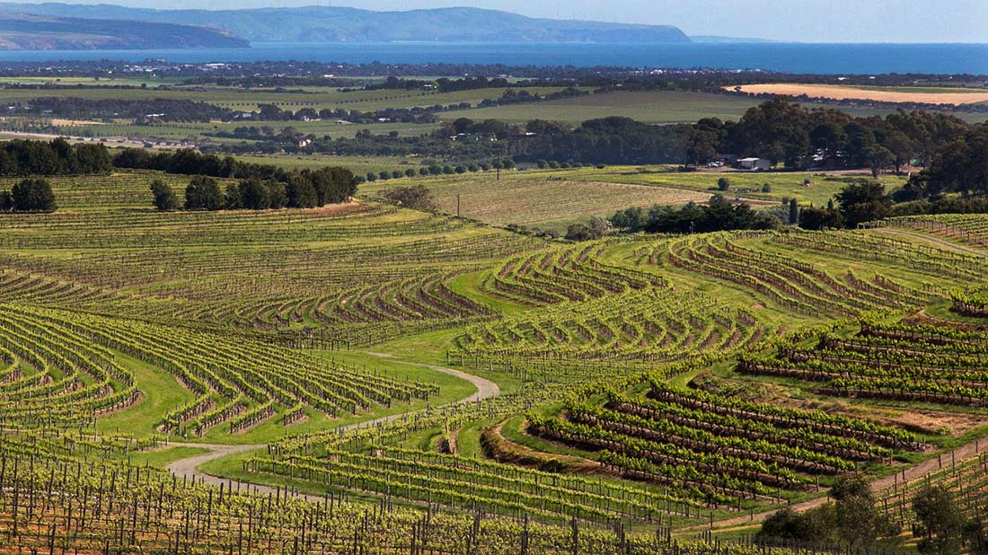 A wide-open view of the beautiful terraced vineyards you will see on a South Australia road trip.