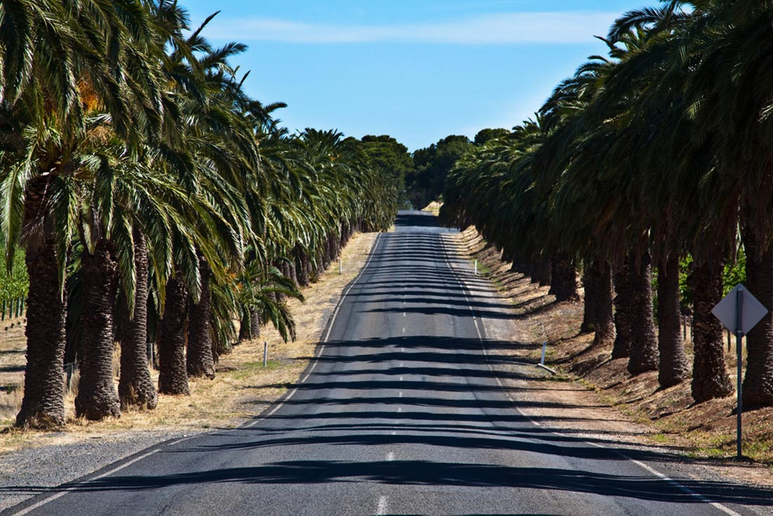 the long stretch of Seppeltfield Road, also called Palm Road, leading to Seppeltsfield Estate Winery. It's lined with 2000 old Canary Island Date Palms