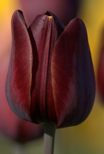 A dark wine purple tulip from Hortus Bulborum, Netherlands