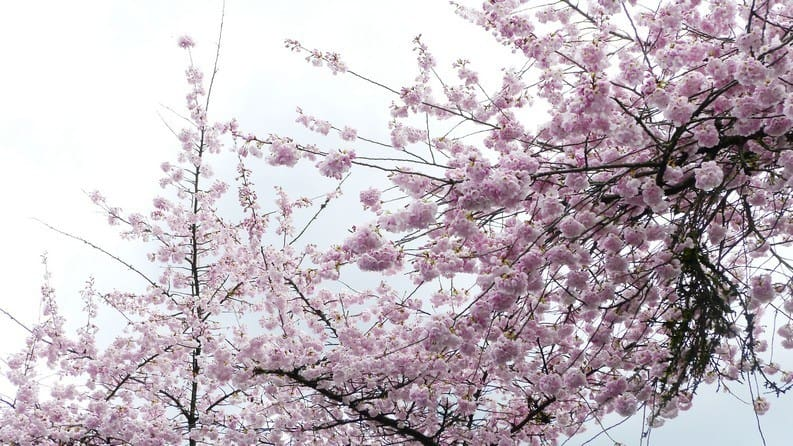 CHERRY BLOSSOM SAKURA THEMED DINE OUT AND SPA IN VANCOUVER
