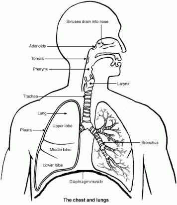 Pictured; Lungs and Trachea. Spearfishing Lung Squeeze