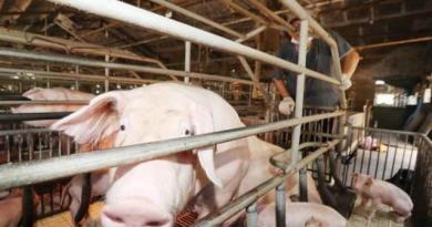 元月起開放萊豬進口。(示意圖/本報資料照)