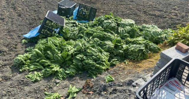 這些農民辛苦種出來的蔬菜全部遭報廢。(圖/林佳新臉書)