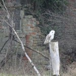 One of the brickyard owls, some nights the sound of them calling is all you can hear