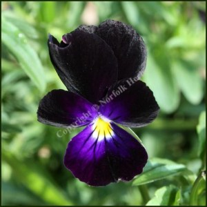 Heartsease - Wild Pansy - Sawyers Black
