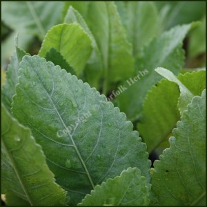 Alecost - Costmary - Tanacetum balsamita