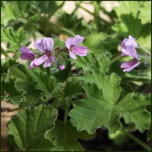 Scented Pelargonium - Geranium - 'Attar of Roses'