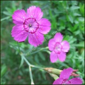 Pink, Maiden - Dianthus deltoids
