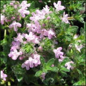 Thyme, Bressingham Pink