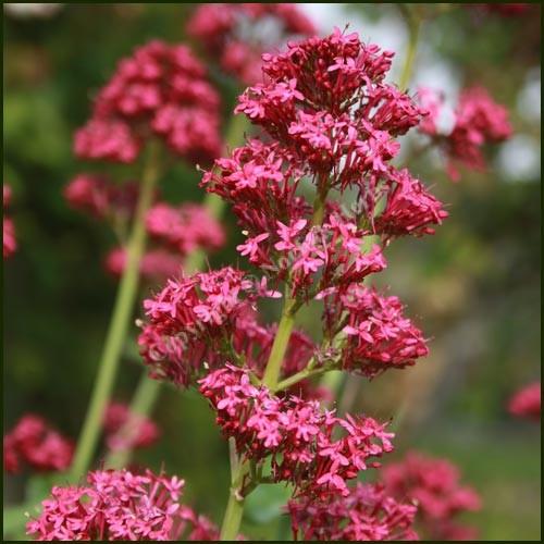 Valerian, Red - Centranthus ruber