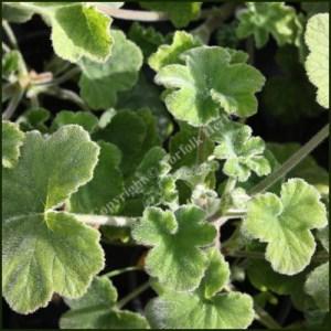 Scented Pelargonium - Geranium - 'Tomentosum'