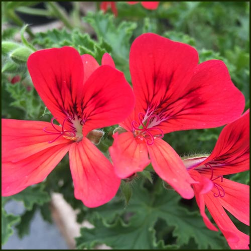 Scented Pelargonium - Geranium - 'Red Robin'