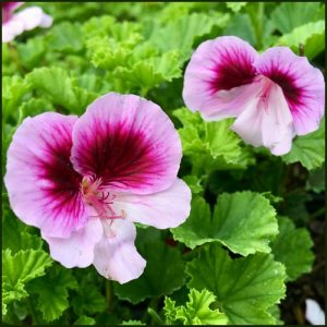 Scented Pelargonium - Geranium - 'Wayward Angel'