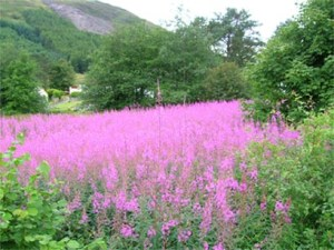Land of My Dreams Crainlarich  -heather 400