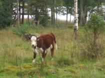 Ekologiskt jordbruk med kor
