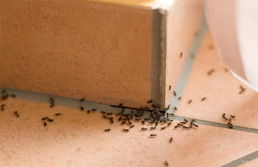plaga hormigas