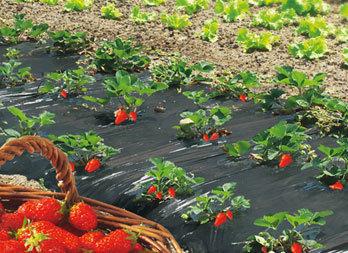 film de paillage special fraises nortene