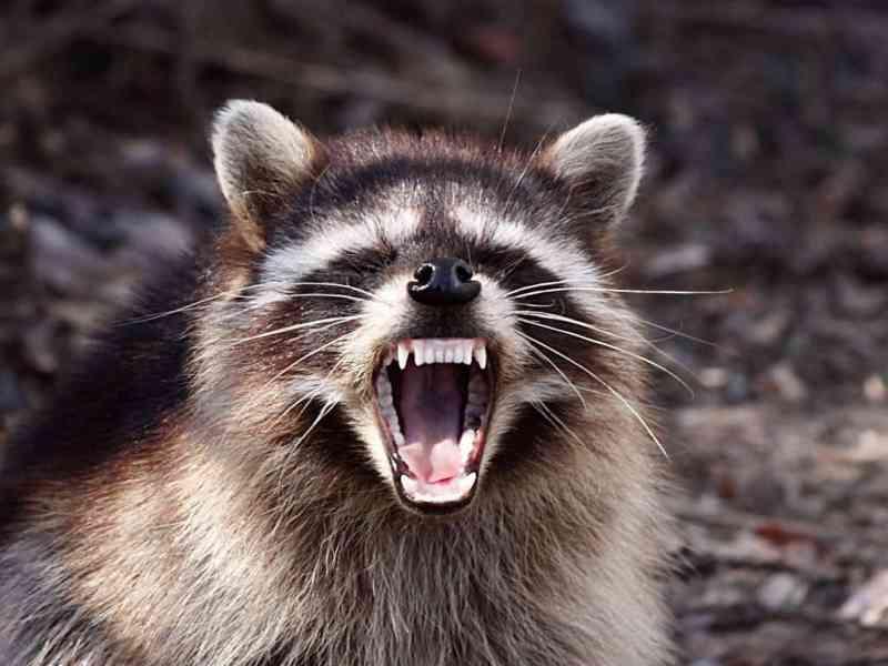 snarling raccoon