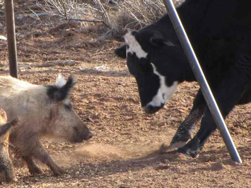 Feral swine often forage alongside livestock and eat grains, mineral blocks, and other nutrition sources intended for cattle. USDA APHIS photo / Justin Stevenson