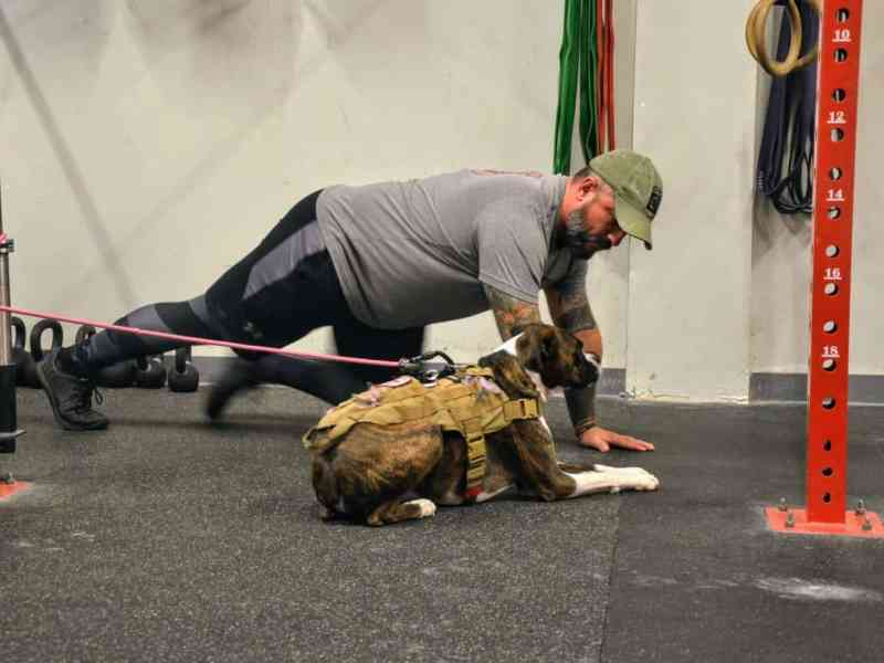 Middle aged white man with beard and a ball cap does running plank in a gym with his service boxer dog in front of him