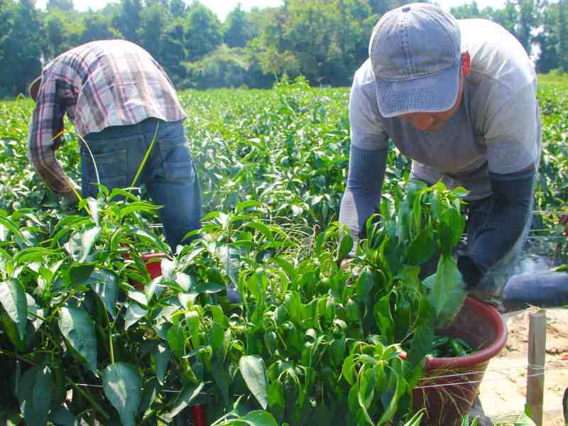 shows men bent over green plants, pulling peppers into baskets