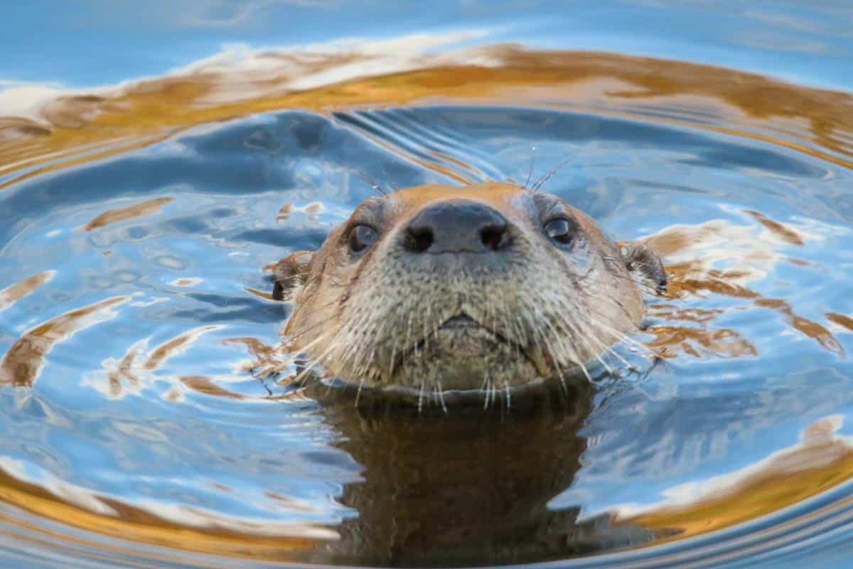 an otter peers up from the surface of the water, just his snout and eyes visible. There's a ripple ring on the water surface around him.