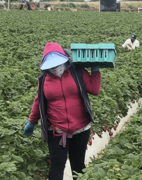 We see a farmworker woman with her face covered by a wide sun visor, holding a carton of strawberries.