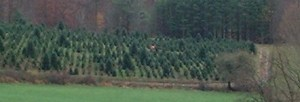 Fraser Fir NC Christmas Tree Farm