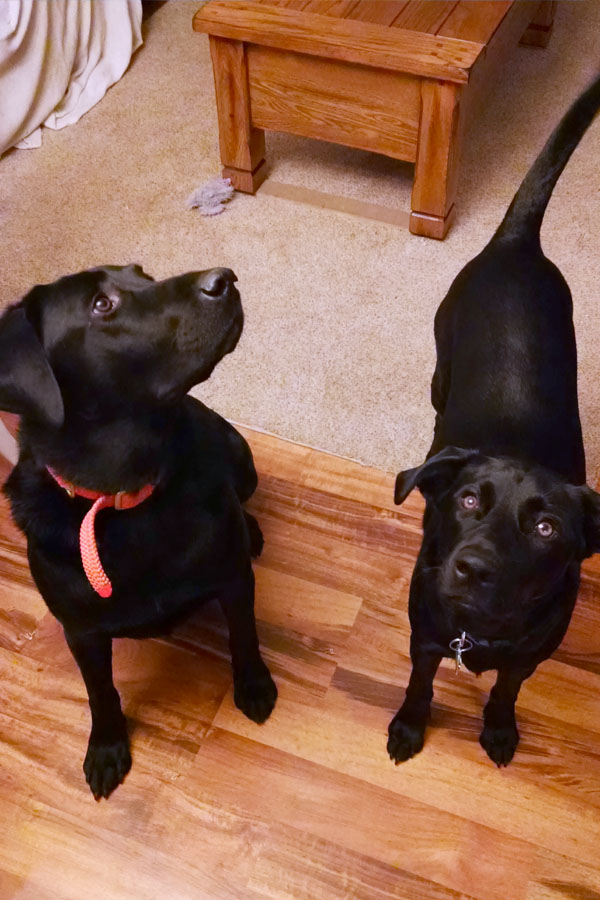 black-labs-moxie-and-gunner