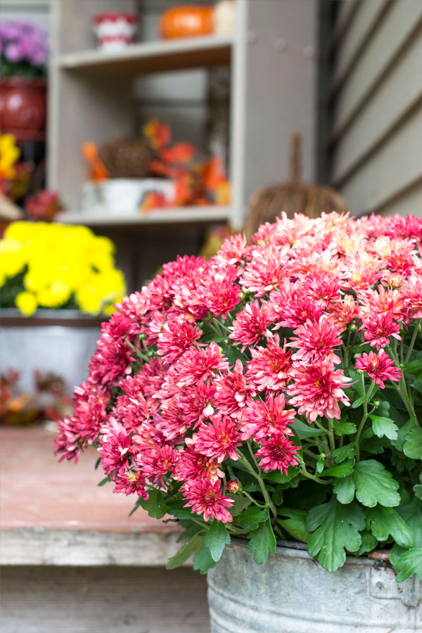 red mums in galvanized bucket