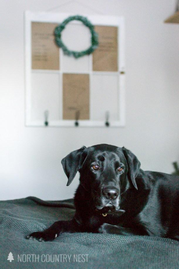 black lab dog on a bed