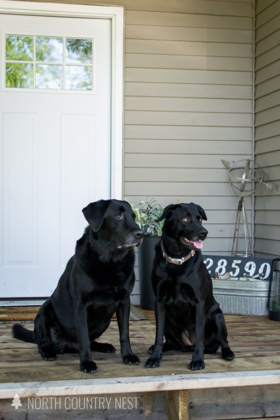 black lab dogs on front porch