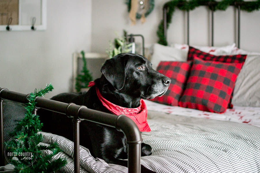 black lab on holiday guest bed